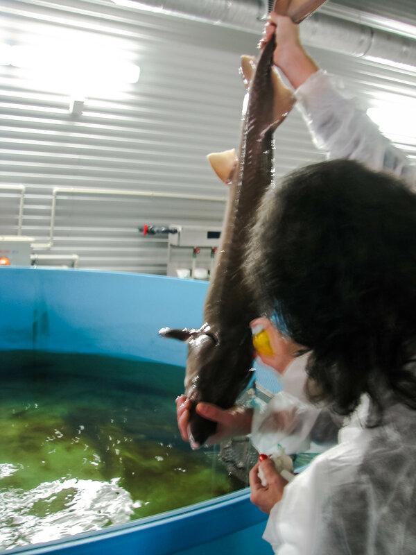 Обработка рыбы от ран