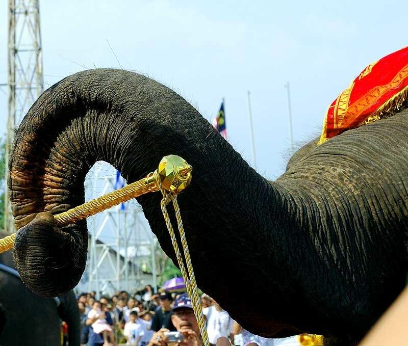Суматранский слон. Лампунг
