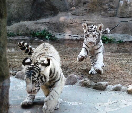 Сейчас тигрята уже адаптировались в новом доме.  30.06.2009. LКомсомолка уже писала о том, то в ижевский зоопарк...