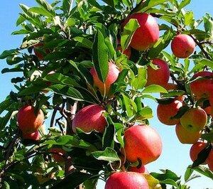 Экспорт молдавских яблок в Казахстан вырос в 7 раз