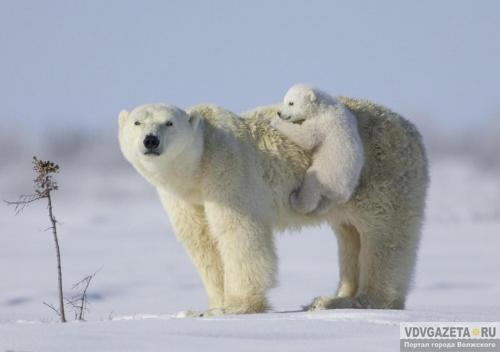 В Арктике нашли доказательства, что люди ели белых медведей