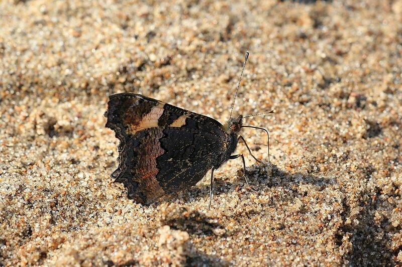 Бабочка-крапивница (лат. Aglais urticae, =Nymphalis urticae) из семейства нимфалид на песчаном пляже на берегу Белой Холуницы