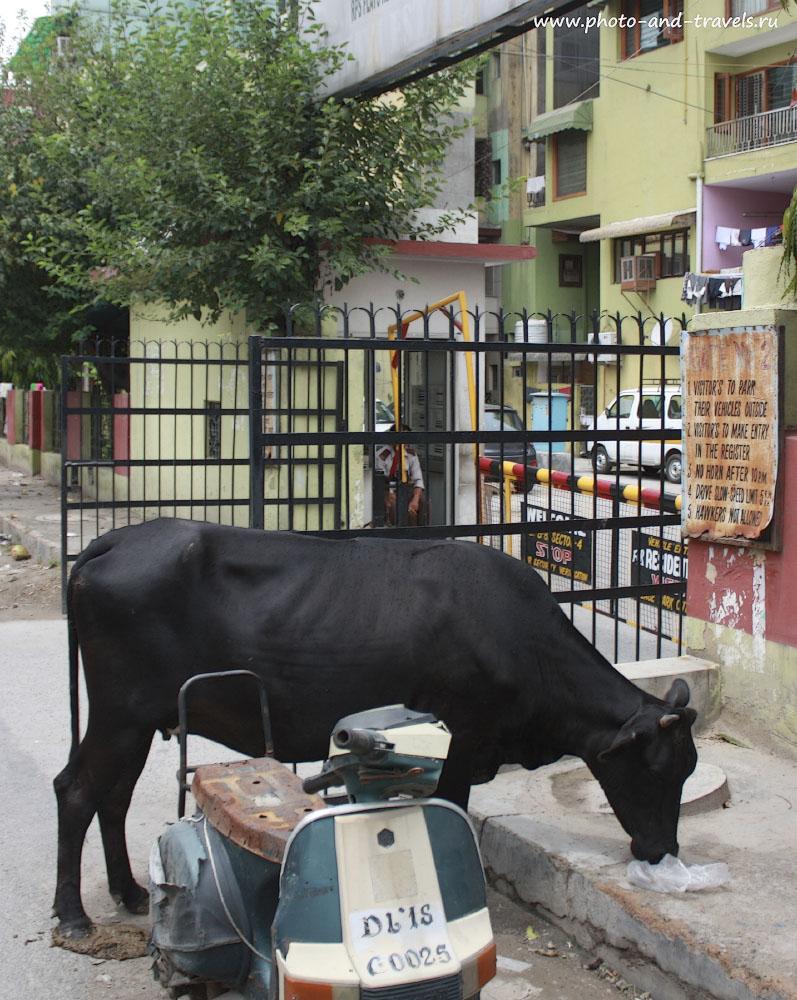 Фотография 2. Отзыв о поездке в Индию самостоятельно. Коровы на улицах городов.