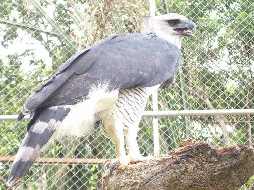Гарпия - знаменитая птица! 0_1ff98_ea7a225e_L