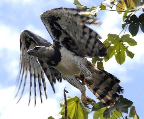 Гарпия - знаменитая птица! 0_1ff9b_72aabea5_L