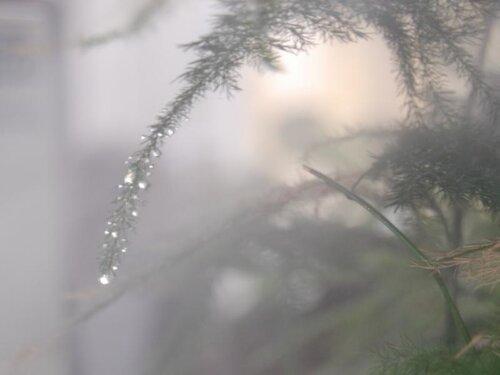 аспаругус в тумане