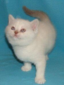 лиловый серебристая линкс-поинт британская короткошерстная кошка