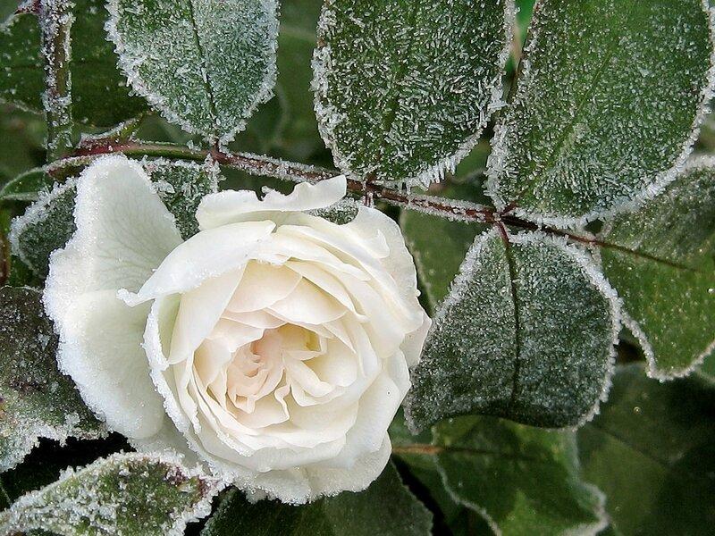 Беззащитная белая роза