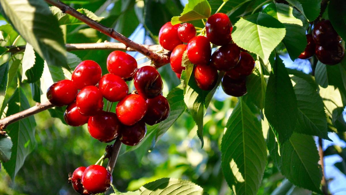 посадка саженцев вишни