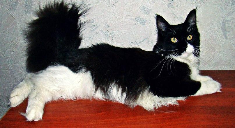 Они взяли крошечного котенка мейн-куна — полюбуйтесь, каким он стал через год!