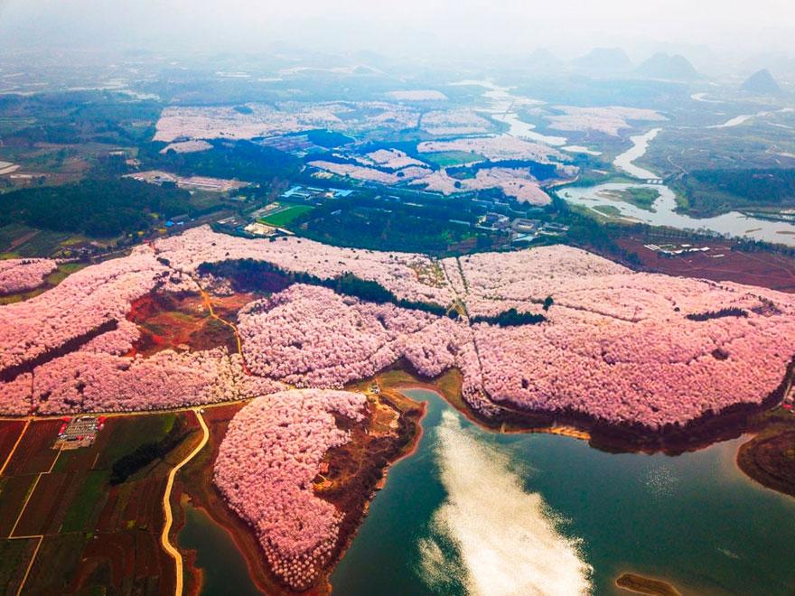 В Китае расцвела вишня, и это инопланетно прекрасно