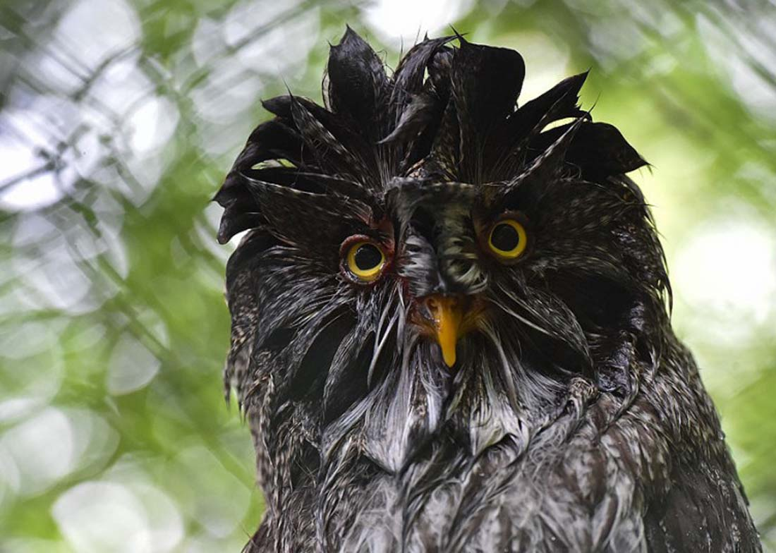 Germany Weather: A great grey owl has waterlogged feathers after rain showers at Eberswalde Zoo in Germany. 13 June 2014