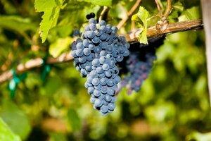 Виноградники Молдовы заняли 13 место по размеру во всем мире