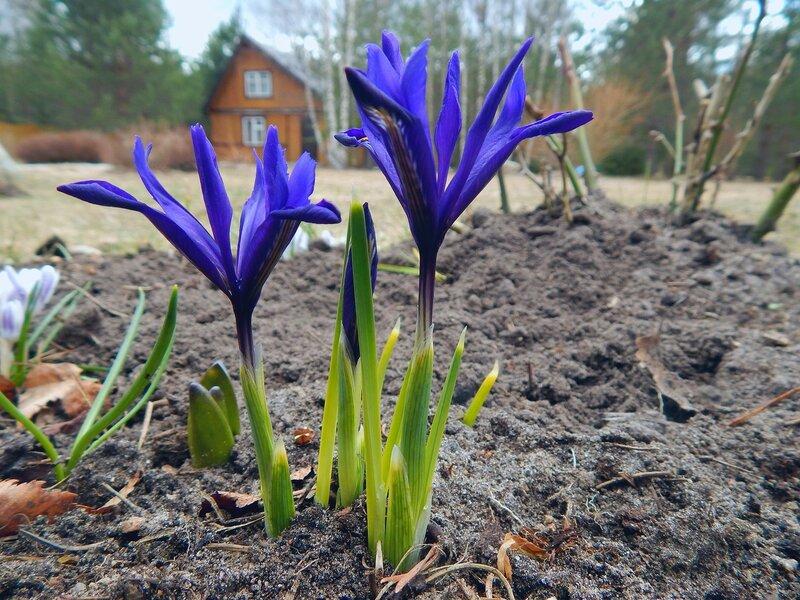 Ирис, апрель