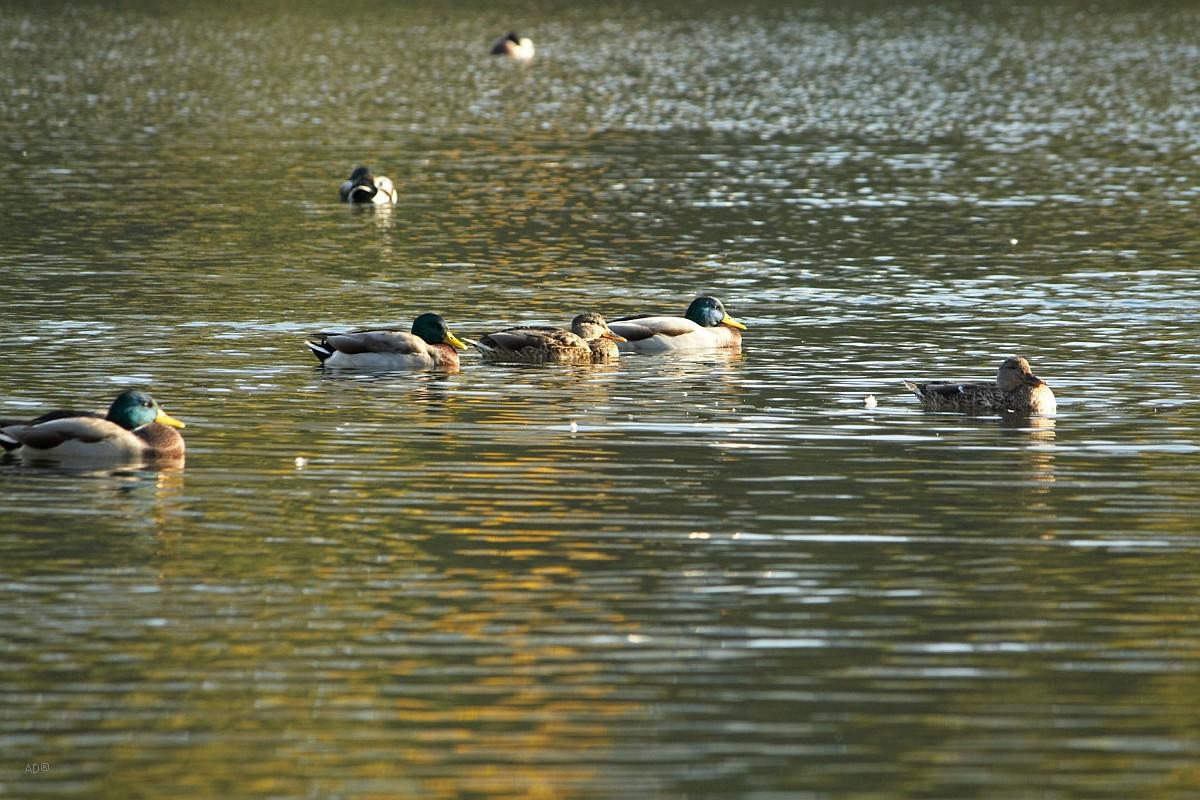 утки на пруду у Каменной плотины (Мосфильмовский пруд, Гладышевское озеро)