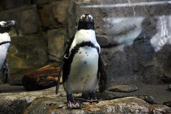 пингвин