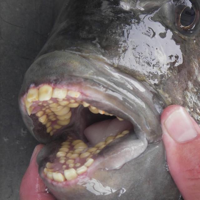 О, как хотелось бы, чтобы эта отвратительная фотография не была реальной. Но увы: это рыба паку, и е