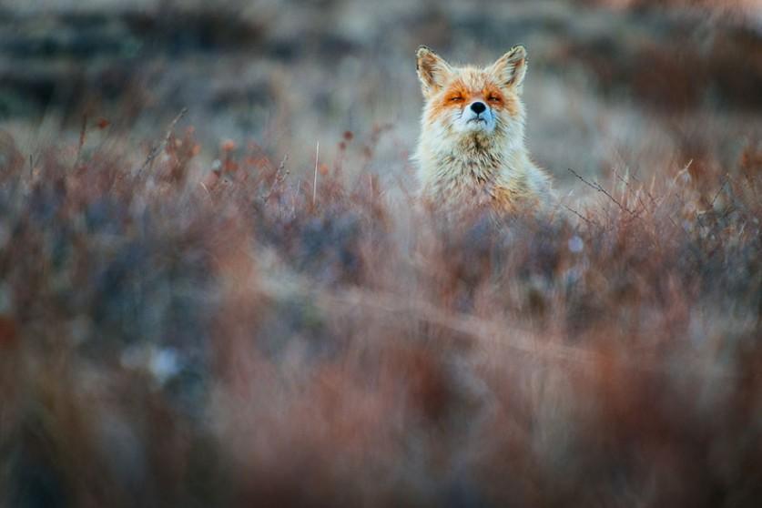 Лисы – прирождённые модели от фотоохотника Ивана Кислова
