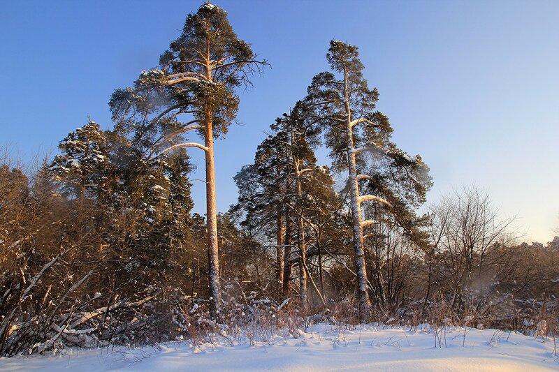 Заснеженные сосны в солнечный день в Заречном парке города Кирова
