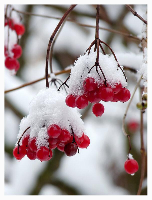 калина в снегу (336x450, 27Kb) .