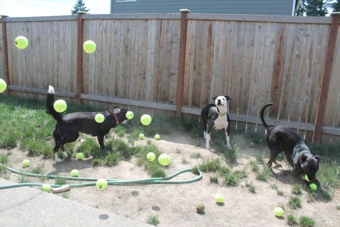 Три собаки, 60 теннисных мячей и пингвинчики   забавные фотографии