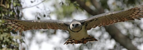 Гарпия - знаменитая птица! 0_1ff92_6a89cd3e_L