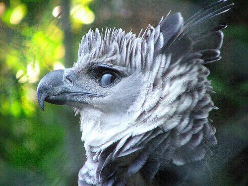 Гарпия - знаменитая птица! 0_1ff93_a9f350f6_L