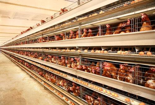 АЧС в ЕС принесла прибыль литовским птицефермам