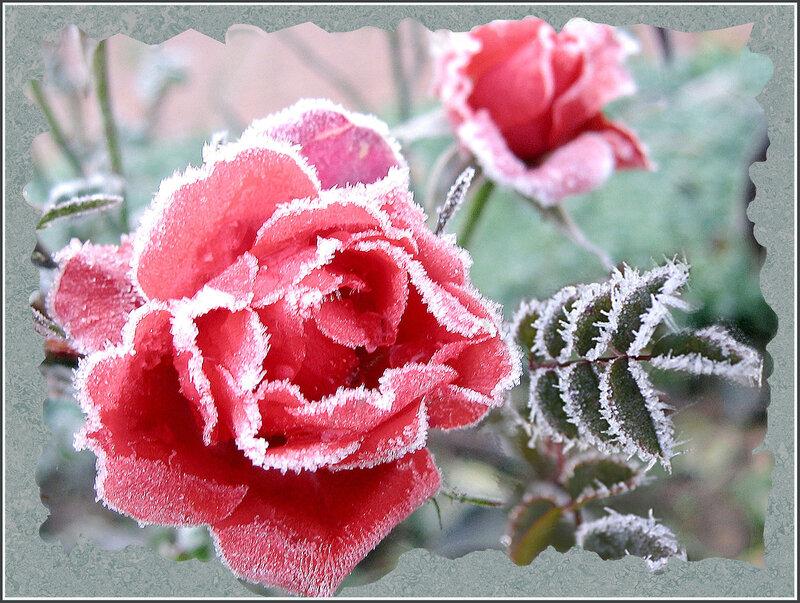 Гляжу на замерзшую розу, и в душе моей легкая грусть...