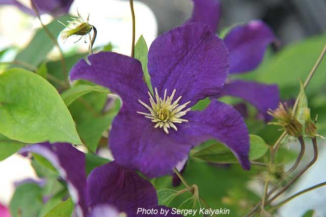 Clematis Viola.jpg