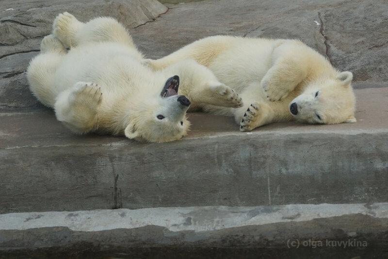 белые медвежата6.jpg
