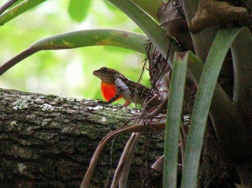 Ящерица, Эверглейдс, США