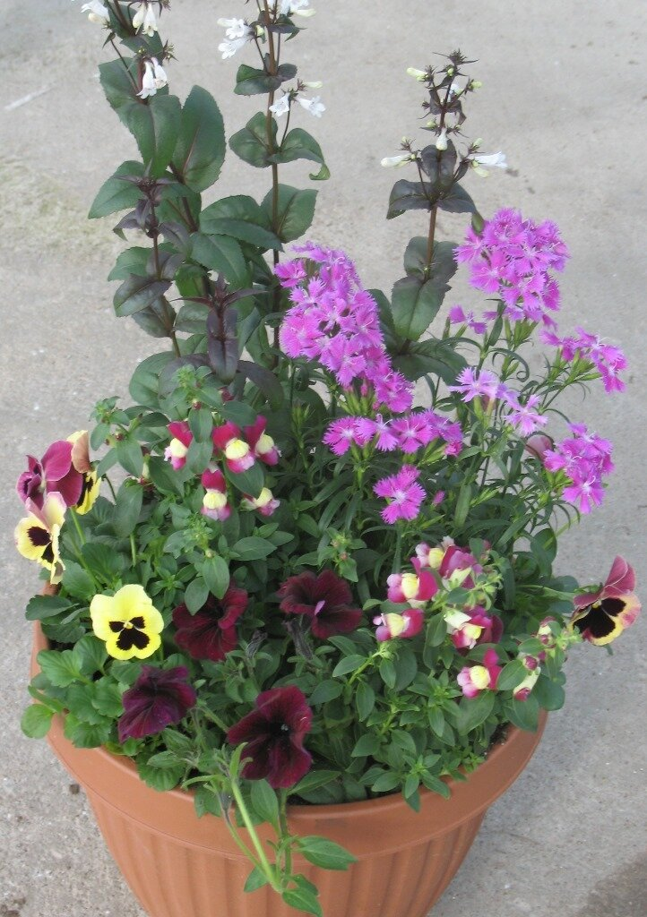 Liveinternet - Growing petunias pots balconies porches ...