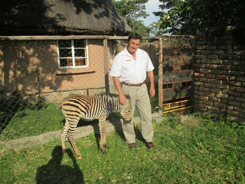 зебру спасла собака пойнтер
