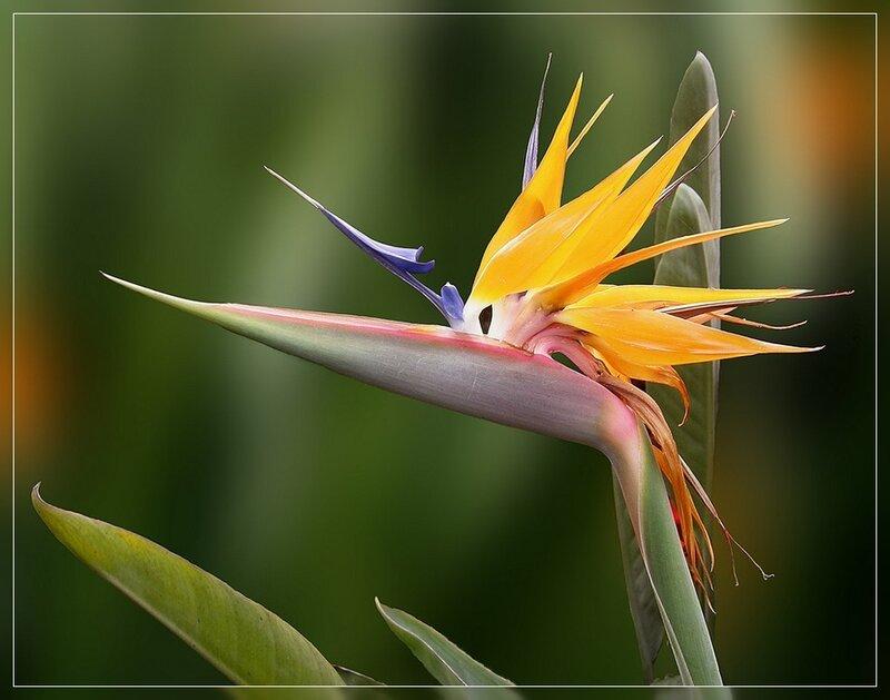 Цветы стрельца