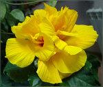 Кибискус(Китайская роза)
