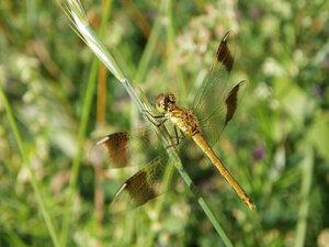 Стрекоза перевязанная (Sympetrum pedemontanum)Альбом:  Мир под ногами Стрекозы - OdonataСтрекоза перевязанная - Sympetrum pedemontanum (Libellulidae), самка