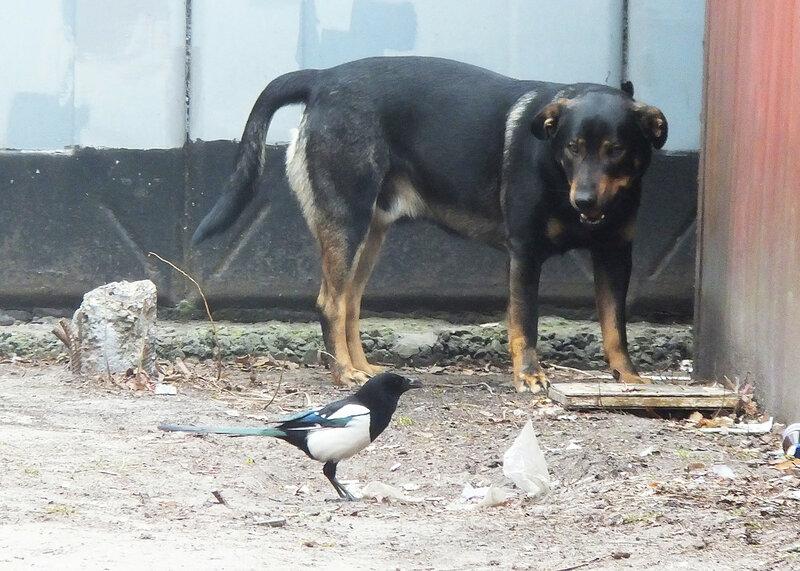 сорока vs собака