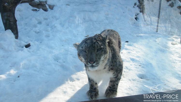 снежный барс в зоопарке Казани