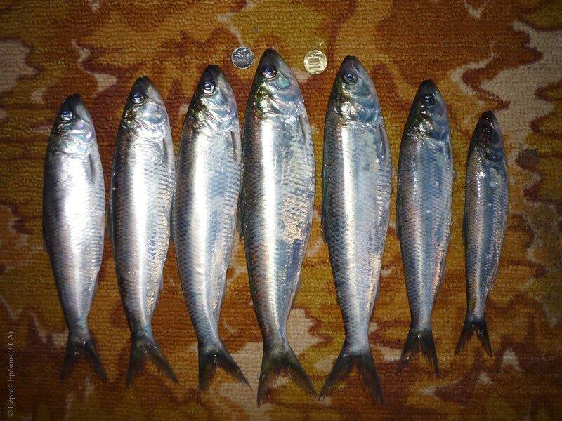 Семь селёдок, пойманных 5 декабря 2015