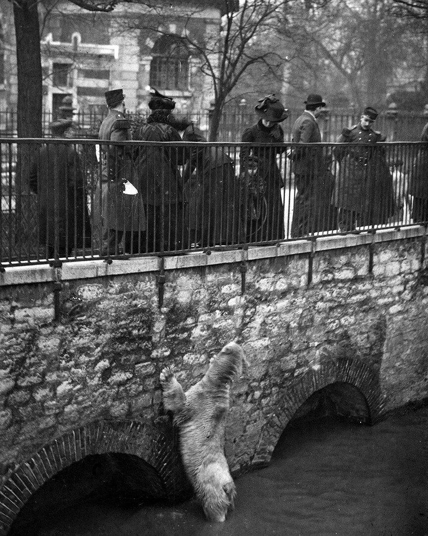 1910. Медведь сбежал из зоопарка и пытается выбраться из Сены