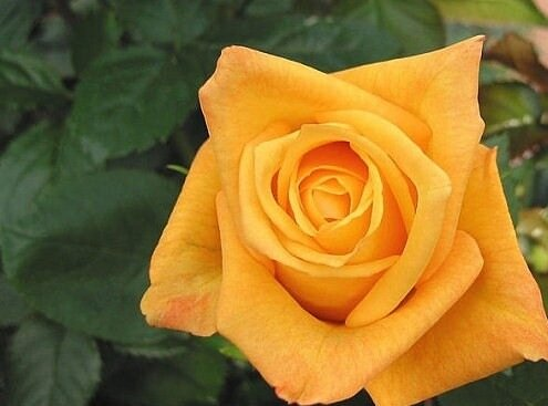 photo-rose-photo-rose-d-or-04.jpg
