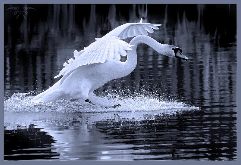 Песня отпущу белого лебедя скачать