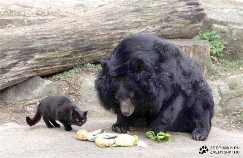 Восемь лет уже дружат кот и 40-летний азиатский медведь из Берлинского зоопарка! Сотрудники пытались выгнать кота, но мишка так скучал, что пришлось оставить . Вместе веселее .