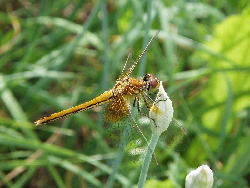Стрекоза жёлтая (Sympetrum flaveolum) Автор фото: Владимир Брюхов