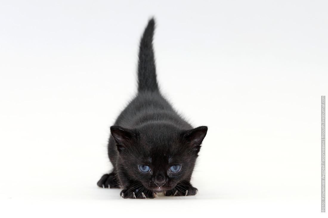 продажа котенок Бомбейской кошки