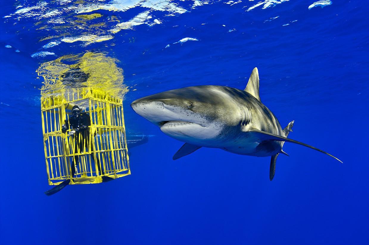 «Я сделал эту фотографию, работая на Багамах над репортажем об акулах. Длиннокрылая акула находится