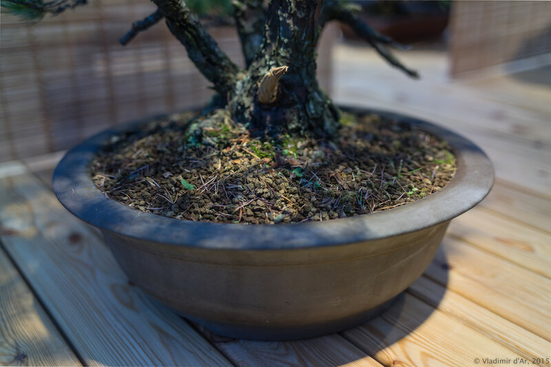 Сосна мелкоцветковая (белая японская сосна). Возраст - около 70 лет.