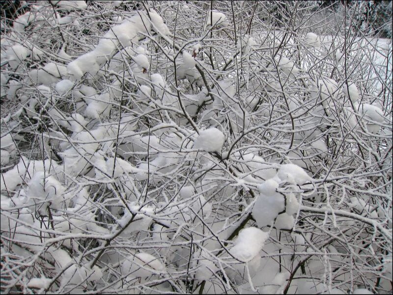 Снежные ветви
