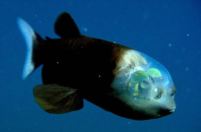 1. Малоротая макропинна ( flickr.com ) Рыба с прозрачной головой.